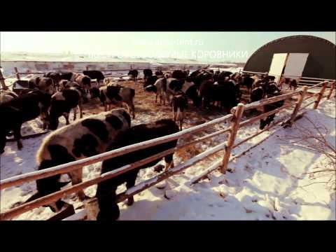 какая выгода ежели держать на откорме быков какой доход