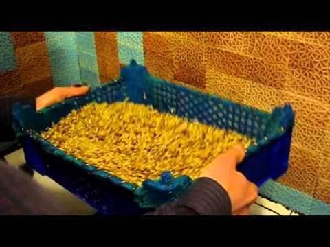 Проращивание пшеницы в домашних условиях на солод