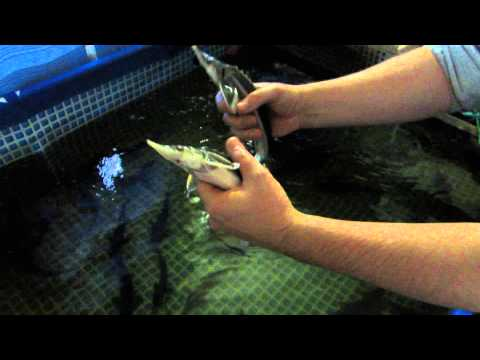 Как разводить лосося в домашних условиях видео