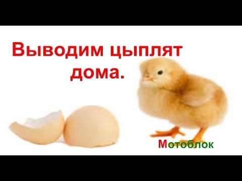 Вывод цыплят в домашних условиях