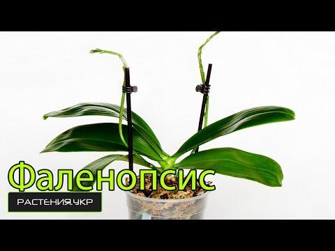 Орхидея фаленопсис уход в домашних условиях обрезка видео