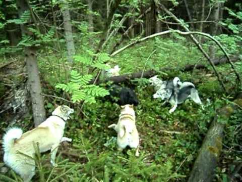 Смотреть онлайн бесплатно охота с лайками Дина,Тайга,Хантик,Умка,Лайма