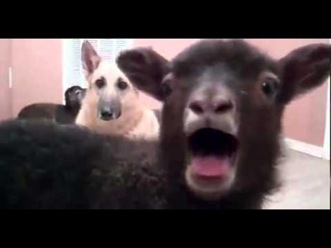 Ржачный козёл в деревне смешно треплет языком