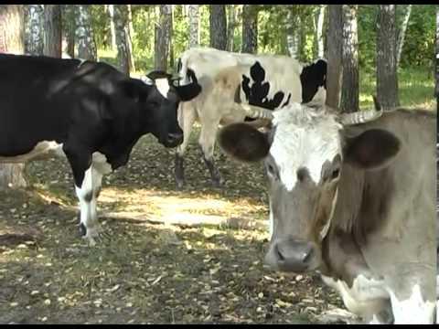 ГНТИ - Домашняя ферма Коровы - Видеорепортажи из мира науки и техники