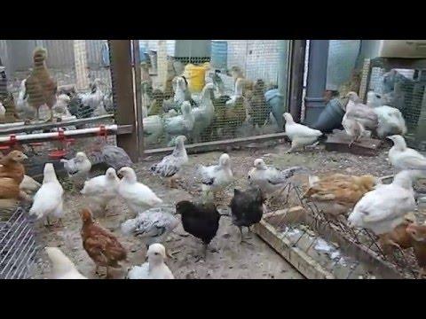 Скачать музыку филиппенко цыплята