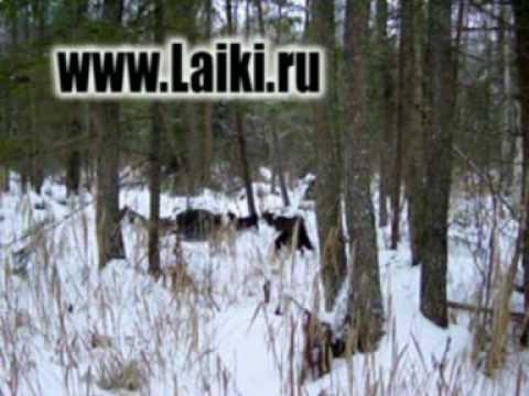 Смотреть онлайн бесплатно в качестве охота на кабана с собаками Full
